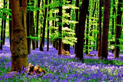Woodland Forest Canvas Framed Wall Art - Wood For the Fire Blue Bells